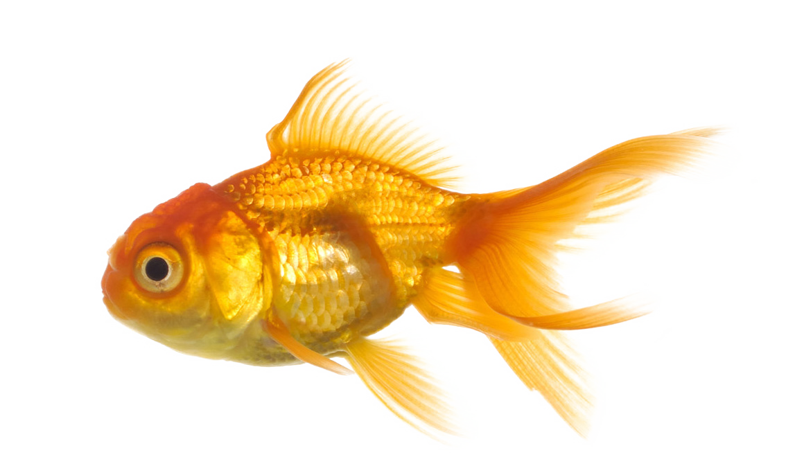 fish in png